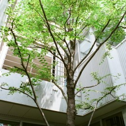 浅草の家―2階にある庭 (中庭のシンボルツリー)