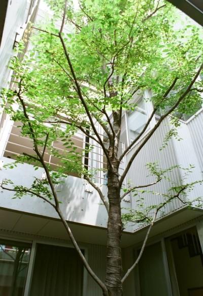 中庭のシンボルツリー (浅草の家―2階にある庭)