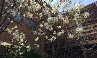小さな家~緑の中で暮らす木のアトリエ付住宅~ (ジュンベリーの開花)