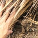 愛知の茅葺き再生[茅葺き]の写真 70年前に縛られた藁縄は今でも固いです
