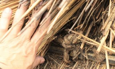 愛知の茅葺き再生[茅葺き] (70年前に縛られた藁縄は今でも固いです)