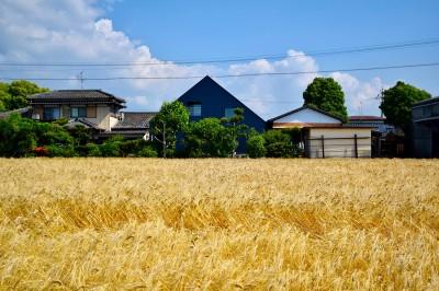 黄金色の麦畑の中の藍いろの家~四季を通じて風景に馴染む (藍いろの家~横葺きのガルバリウム外壁が特徴の家型のおうち。家型フォルムの中の通り土間は家族のお気に入り~)