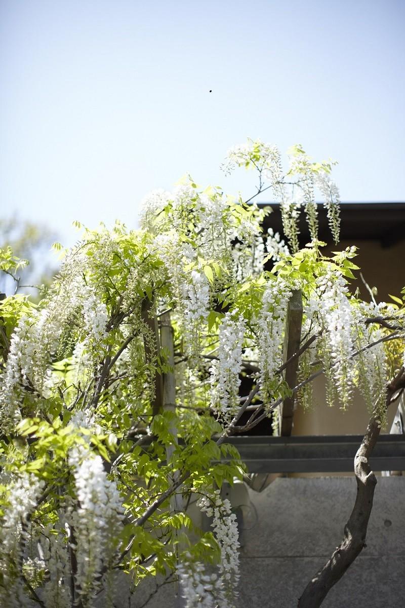 北鎌倉の家~伝統美と遊び心が融合する家 (藤棚)